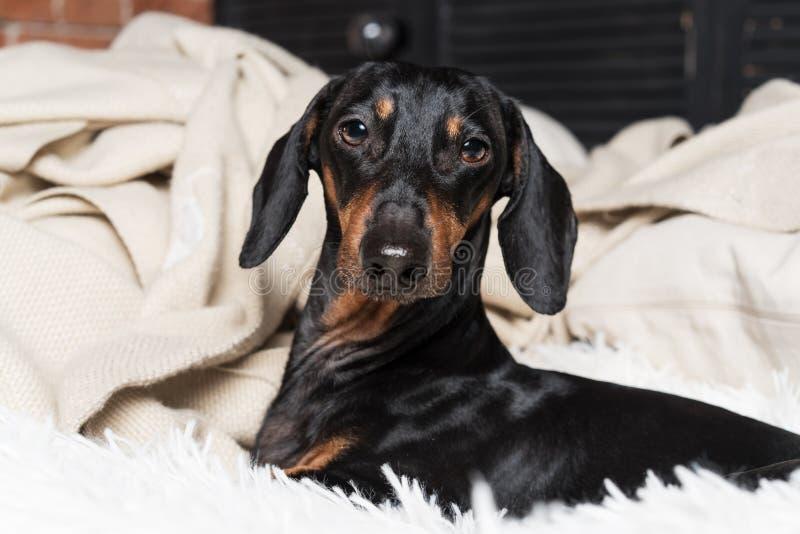 Portret psi traken jamnik, czarny i dębny, mieć zabawę na kanapie zdjęcie stock