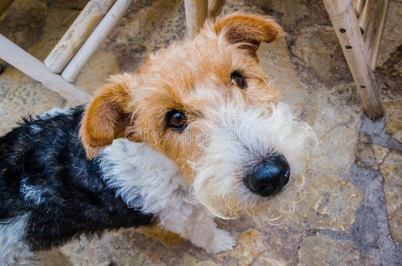 Portret psi trakenu lisa terier zdjęcie stock