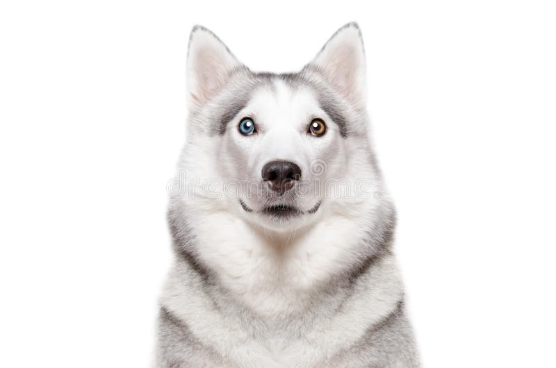 Portret psiego trakenu Syberyjski husky z różnym kolorem ono przygląda się obrazy royalty free