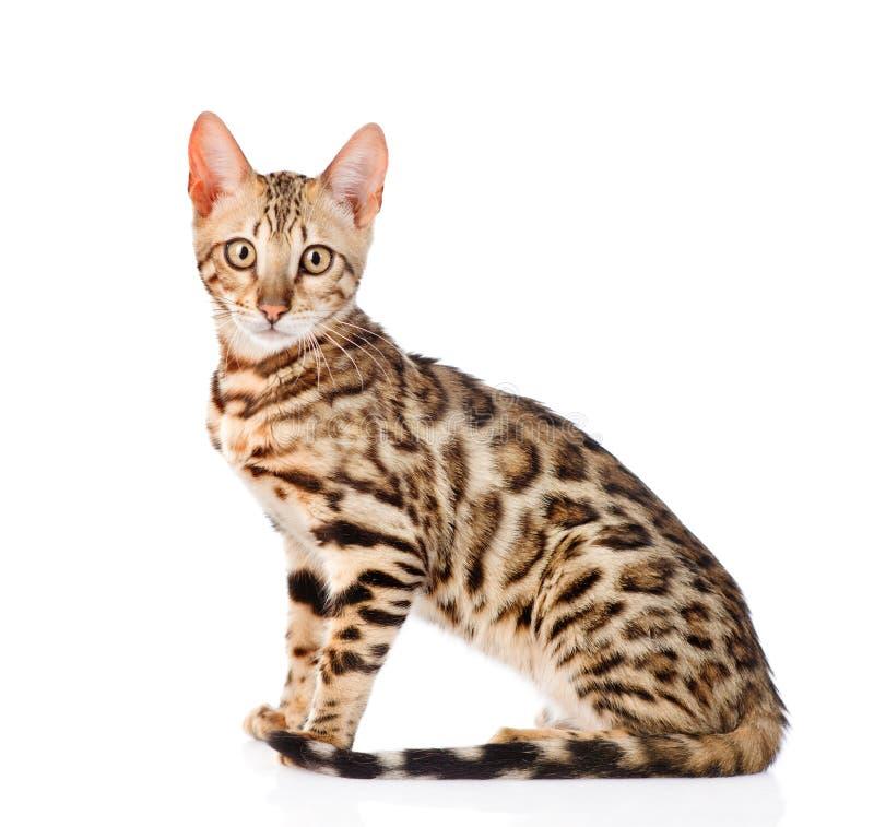 Portret purebred Bengal kot pojedynczy bia?e t?o obrazy stock