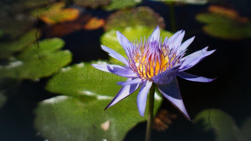 Portret purpury, waterlily lotosowego kwiatu kwitnienie przy zmierzchu momentem lub, selekcyjna ostrość, abstrakcjonistyczna teks fotografia stock