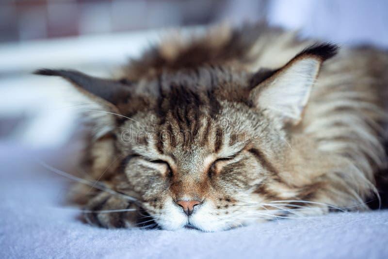 Portret puszysty sypialny kot zdjęcie stock