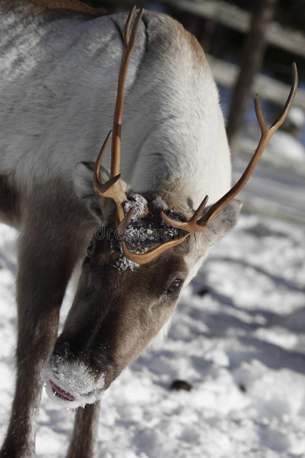 Zamyka up renifera, Rangifer tarandus w zimie/ obraz stock