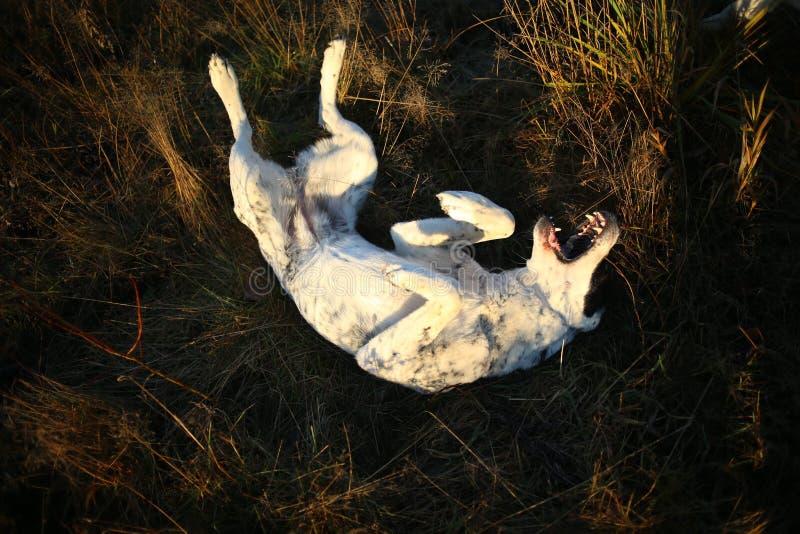 Portret ?rodkowy Azjatycki Pasterski pies plenerowy zdjęcia stock