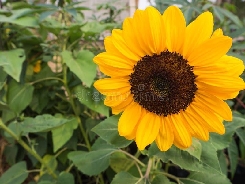 Portret słonecznik w polu obraz royalty free