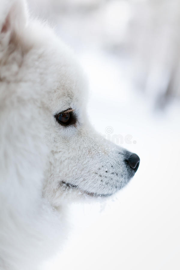 Portret samoed pies w zimie obraz stock