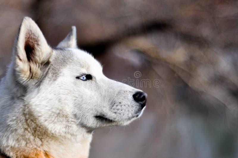 Portret sanie pies obrazy stock