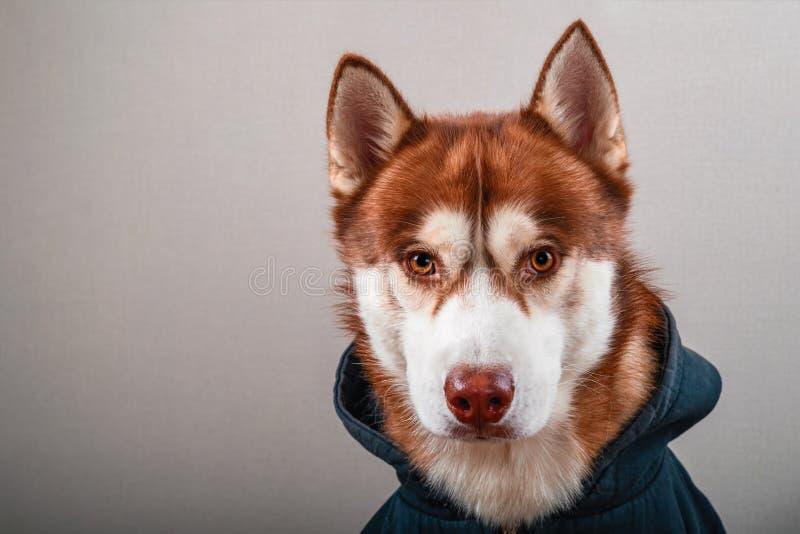 Portret schor hond in zwarte hoodie op Geïsoleerde grijze achtergrond Rode Siberische schor in sweatshirt bekijkt camera vooraanz stock fotografie