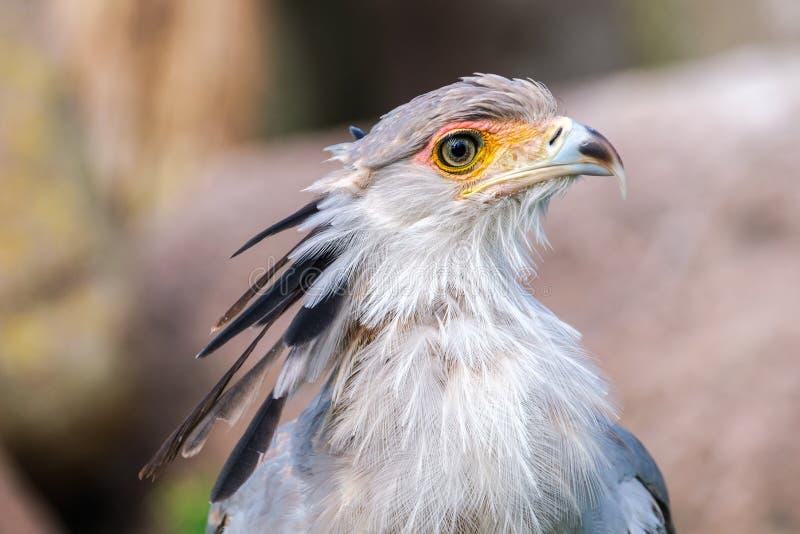 Portret sekretarka ptak obraz royalty free