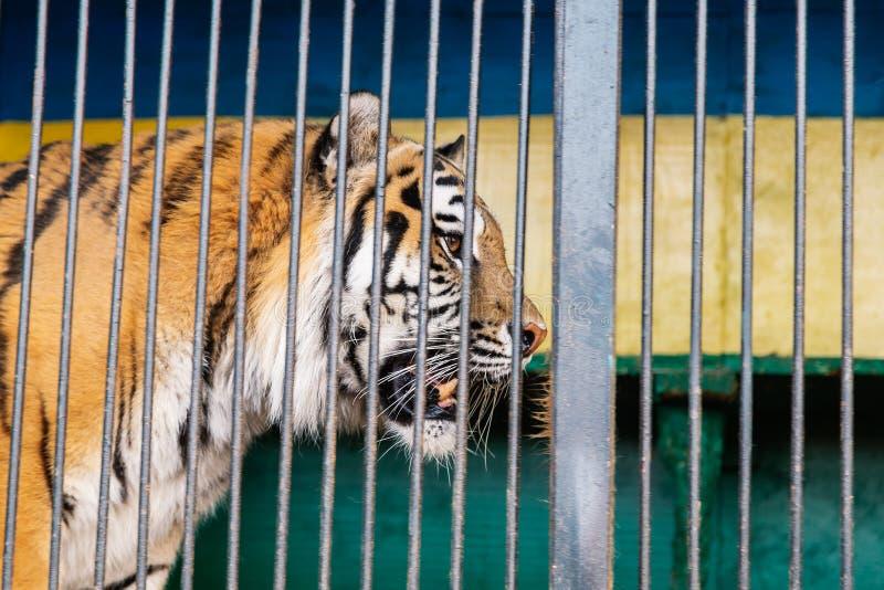 Portret selvaggio della tigre bloccato barre di betweencage Tigre in una gabbia fotografie stock