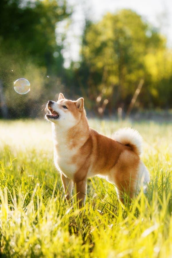 Portret shiba inu pies przeciw zieleni obraz stock
