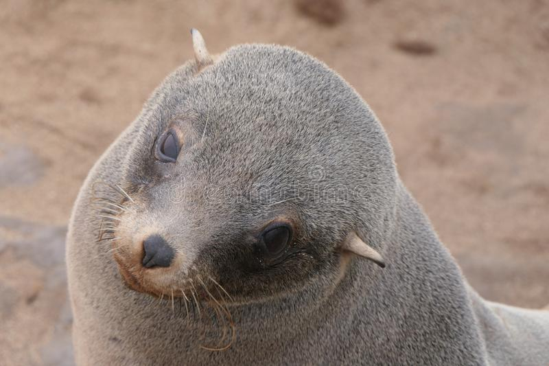 Portret smutny futerkowej foki lisiątko, przylądka krzyż, Namibia zdjęcie stock