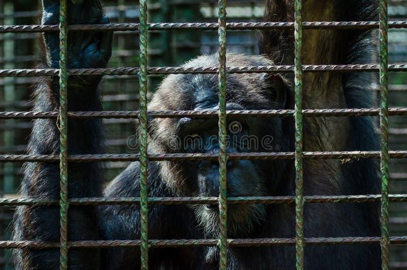 Portret smutny przyglądający szympans lub szympans w metal klatce przy Afi górami Musztrujemy rancho, Nigeria obrazy royalty free