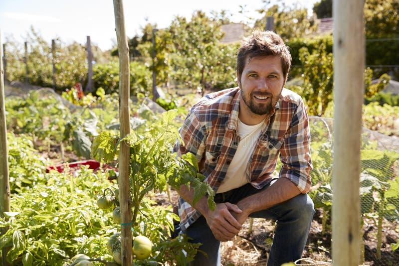Portret Sprawdza Pomidorowe rośliny R Na przydziale mężczyzna obraz stock