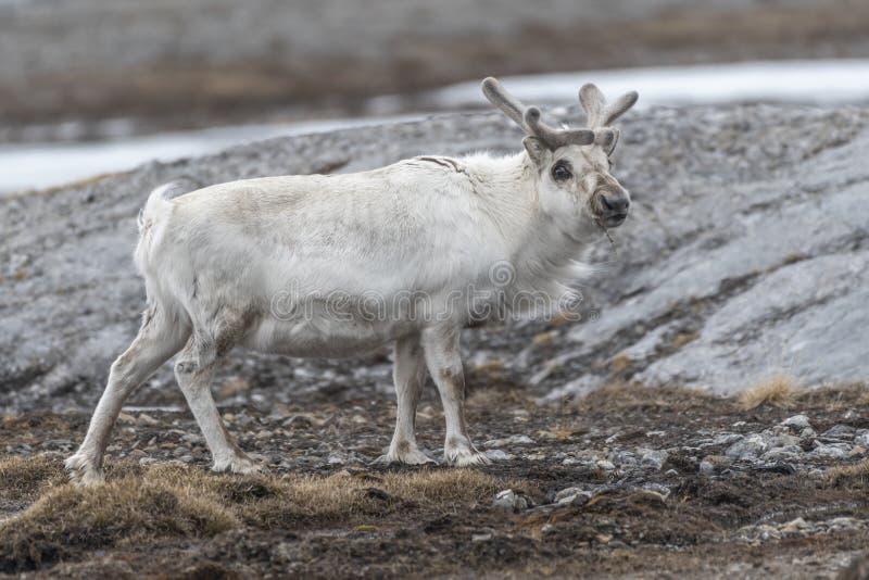 Portret Svalbard renifer w lecie obraz royalty free