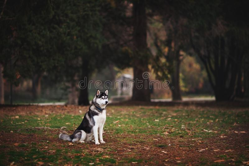 Portret syberyjskiego husky'ego w parku obrazy royalty free