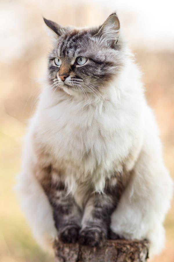 Portret Syjamskiego kota obsiadanie na drzewnym fiszorku, migdali outdoors obraz royalty free