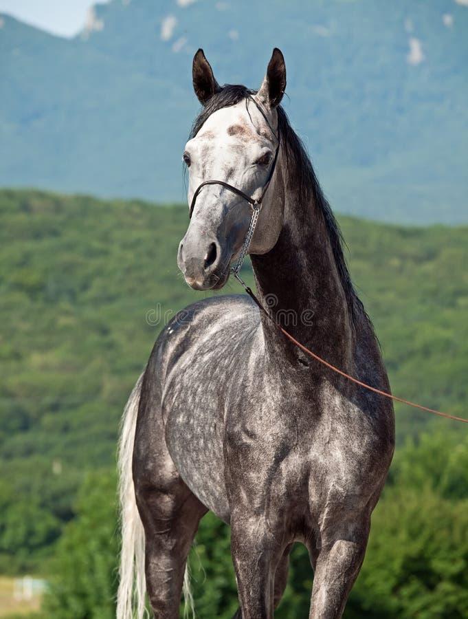 Portret szarości rasy arabski koń fotografia royalty free