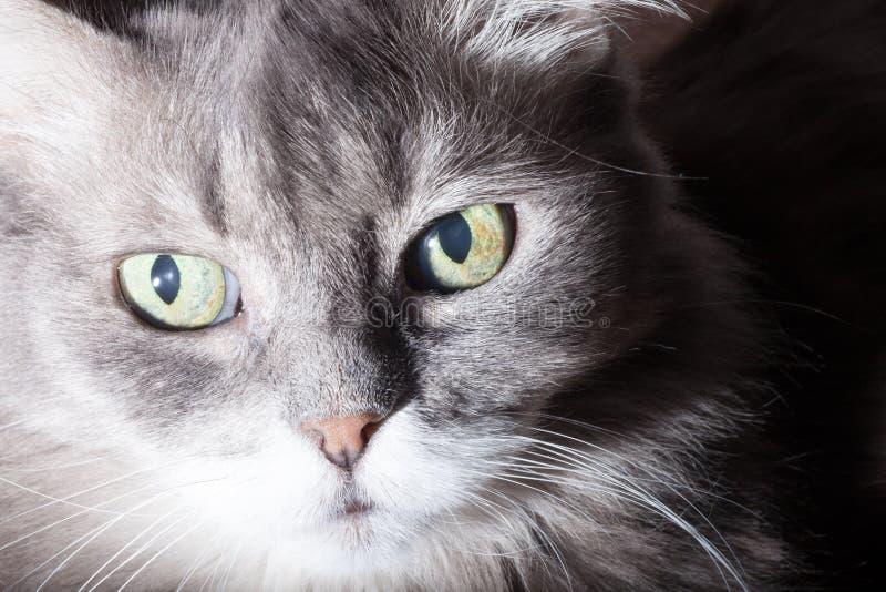 Download Portret szary kot obraz stock. Obraz złożonej z twarz - 57670603