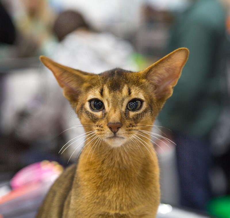 Portret szczęśliwa radosna kota trakenu abisynka Selekcyjna ostro?? fotografia stock