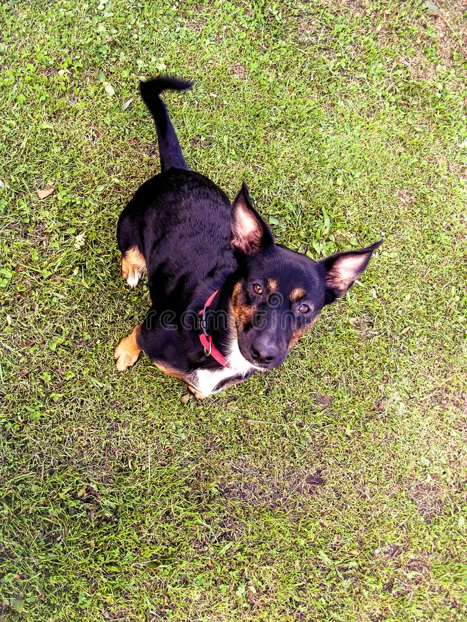 Portret Szczęśliwy czarny śliczny psi szczeniaka zwierzę domowe z ulistnienia bokeh tłem Głowa strzał uśmiechu pies z przestrzeni zdjęcia stock