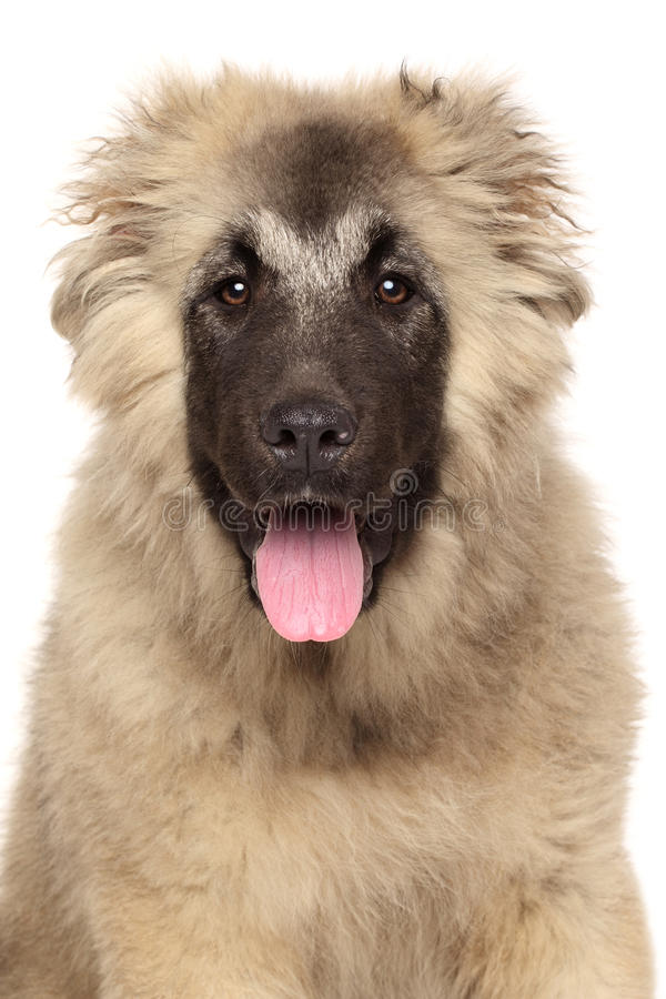 Portret szczęśliwy Kaukaski pasterski pies fotografia royalty free