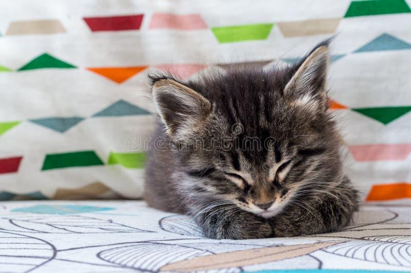 Portret tabby kota dosypianie na karle troszkę obraz royalty free