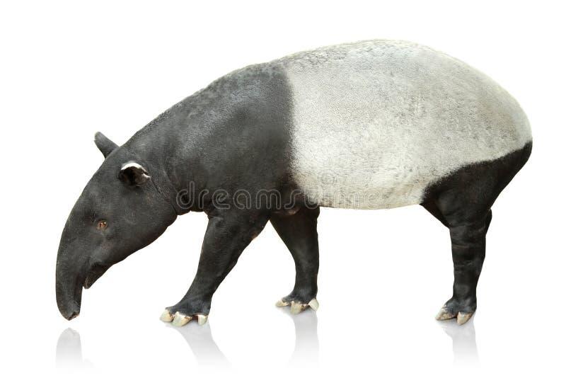 Portret tapir na białym tle zdjęcie royalty free