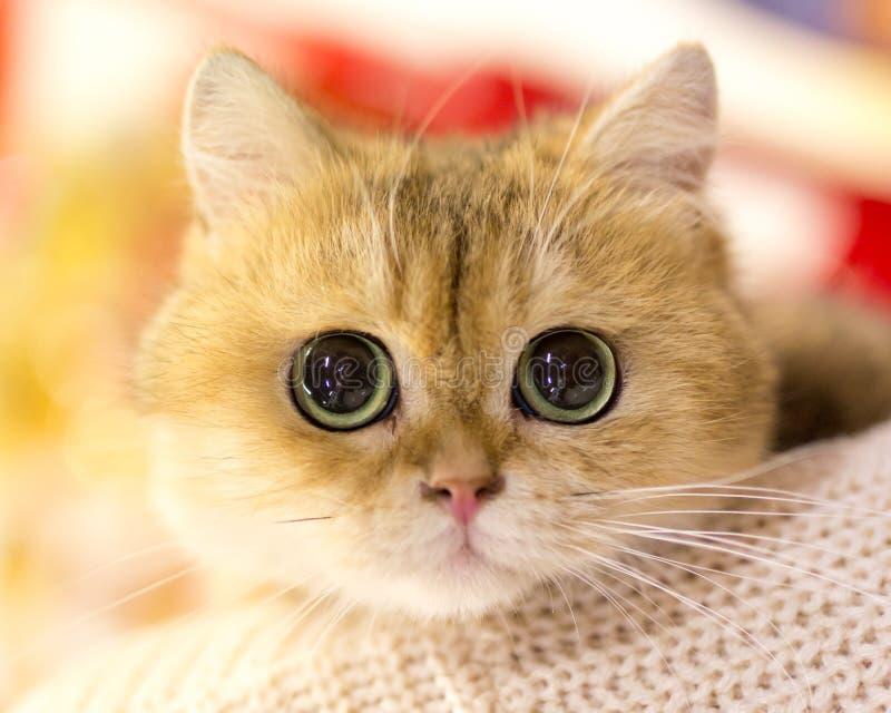 Portret thoroughbred kot przy wystawą zdjęcia royalty free