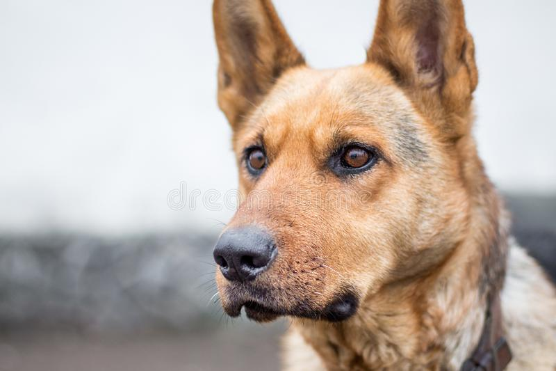 Portret thoroughbred pies, baczny skupiający się look_ zdjęcie royalty free