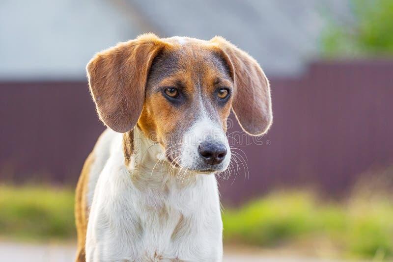 Portret trakenu psa Estoński ogar z opuszczonymi ucho na rozmytym background_ obraz royalty free