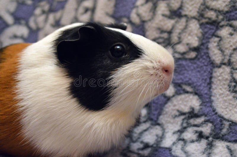 Portret tricolor królik doświadczalny fotografia stock