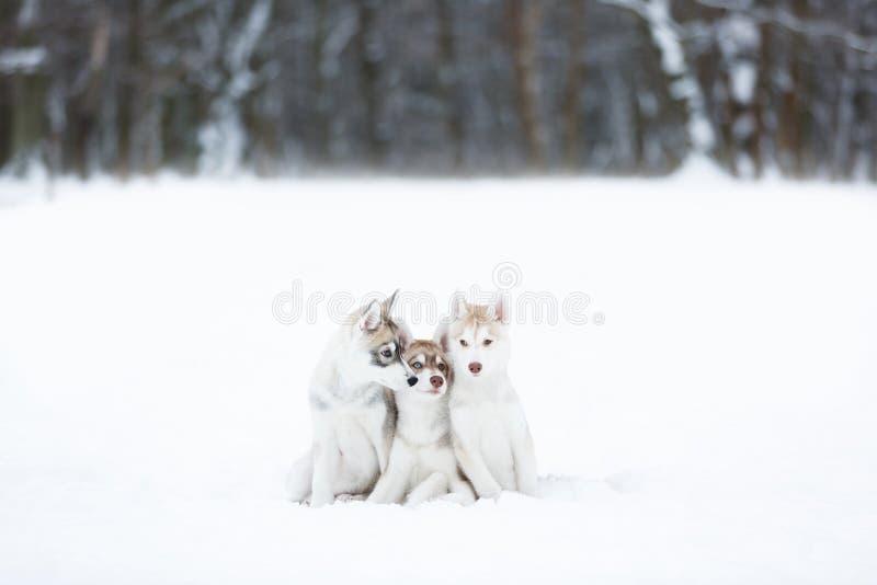 Portret trzy husky szczeniaki zdjęcia stock