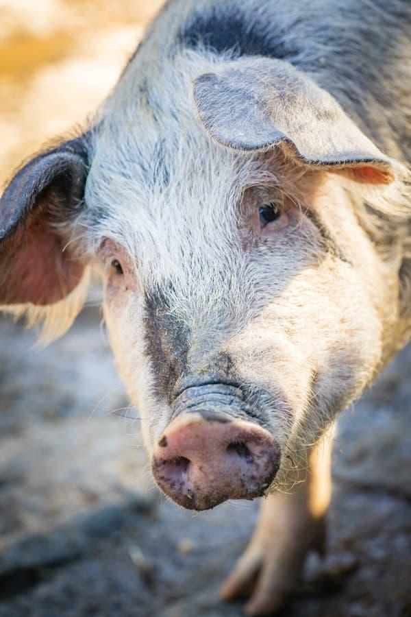 Portret twarzy świniowaty zbliżenie przechylający fotografia stock
