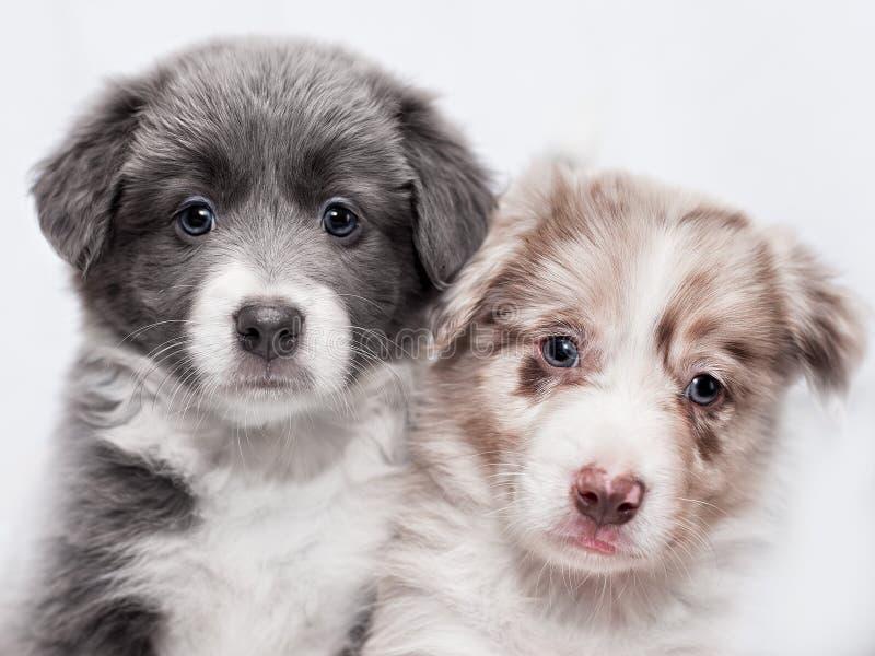 Portret twee puppy van ras border collie royalty-vrije stock afbeeldingen