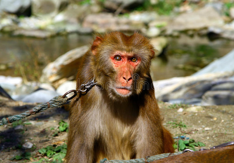 Portret Tybetański makaka Macaca thibetana na smyczu obraz royalty free
