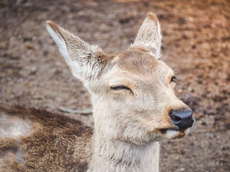 Portret uśmiech, Śliczny rogacz w Nara parku zdjęcie royalty free