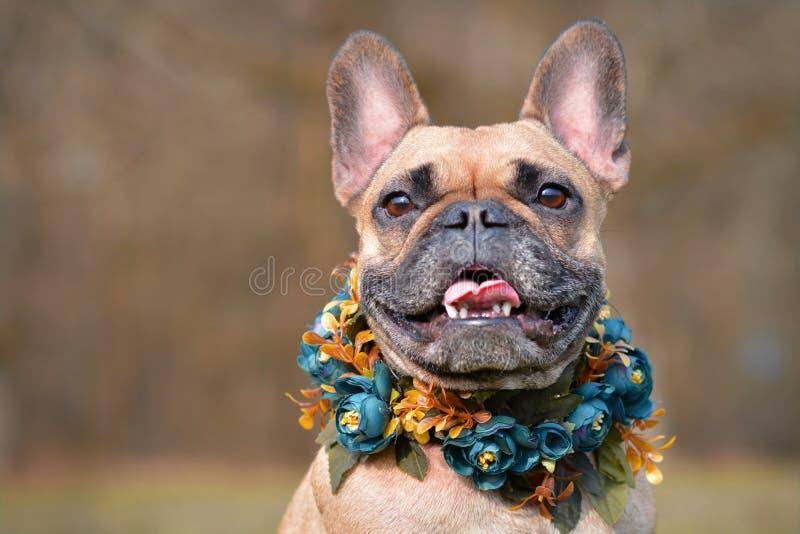 Portret uśmiechnięty żeński brązu Francuskiego buldoga pies jest ubranym selfmade bue kwiecistego kołnierz przed rozmytym tłem fotografia royalty free