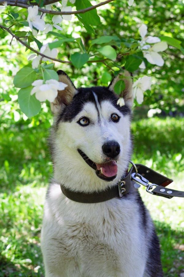 Portret uśmiechnięty popielaty i biały husky pies w ogródzie z okwitnięcie białymi kwiatami jabłoń obraz stock
