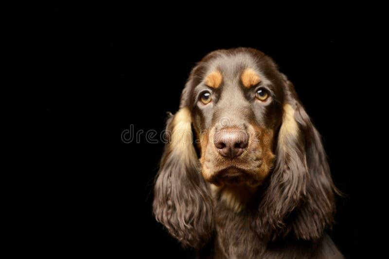 Portret uroczy Angielski Cocker Spaniel zdjęcie stock