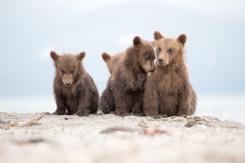 Portret uroczy mali niedźwiedzie obraz stock