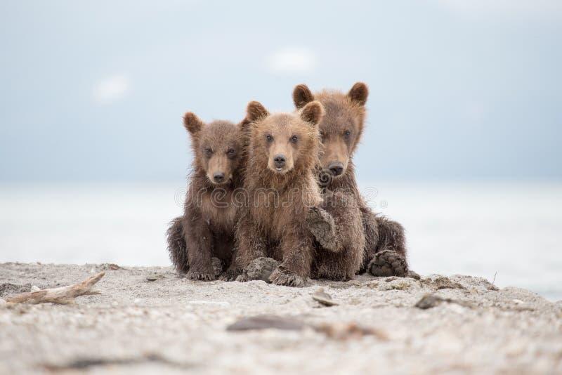 Portret uroczy mali niedźwiedzie fotografia stock