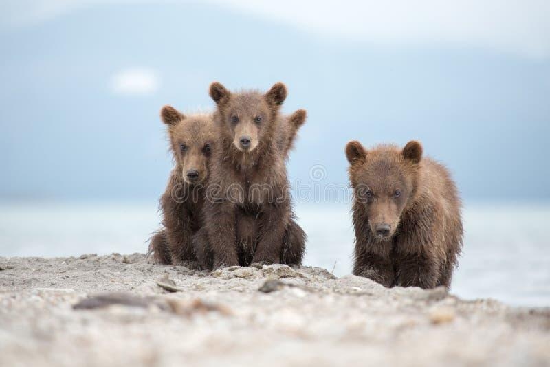 Portret uroczy mali niedźwiedzie zdjęcie stock