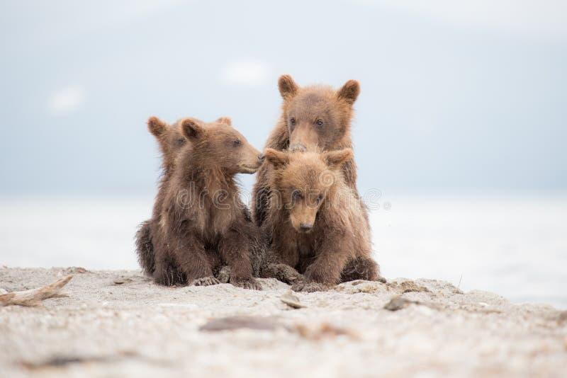 Portret uroczy mali niedźwiedzie zdjęcie royalty free