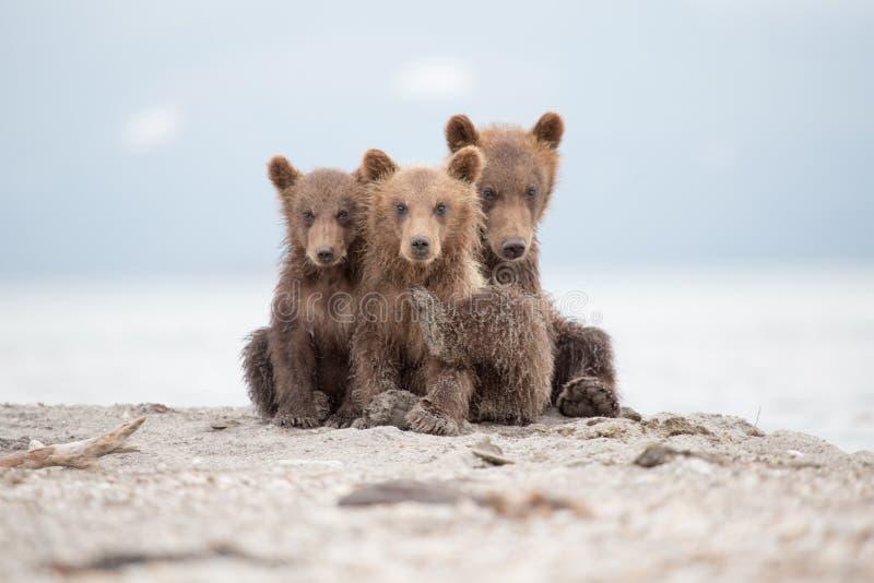 Portret uroczy mali niedźwiedzie zdjęcia stock