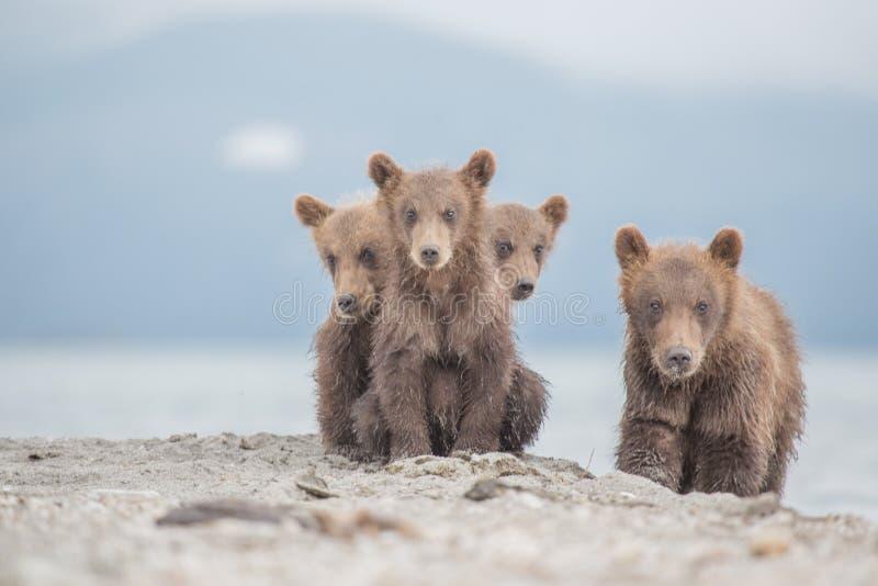 Portret uroczy mali niedźwiedzie obraz royalty free