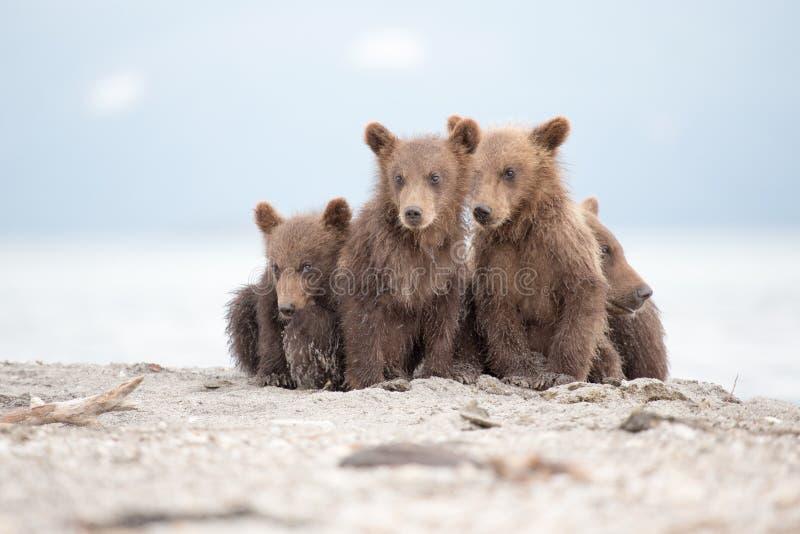 Portret uroczy mali niedźwiedzie zdjęcia royalty free
