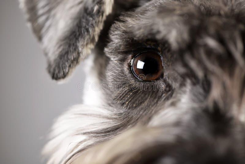 Portret uroczy miniaturowy schnauzer zdjęcie stock