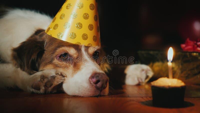Portret urodzinowy psi patrzejący jego urodzinowego tort fotografia royalty free