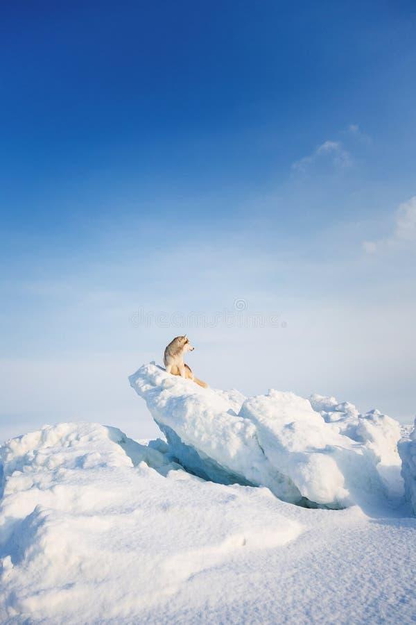 Portret Uwalniam, prideful husky psa obsiadanie na śniegu na lodowym floe i patrzeć w odległość w zimie obraz stock